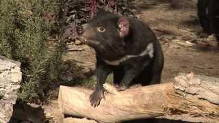 Albuquerque BioPark - Tasmanian Devils