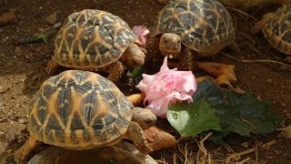 Star Tortoises Eating Green Leaves And Pink Flowers HD