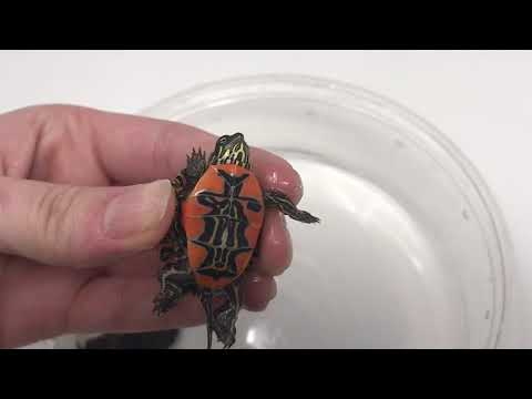 Aquatic Turtles For Sale Live Baby Turtles For Sale My Freshwater Turtle Store