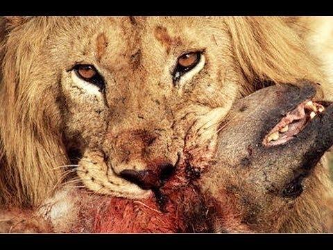 National Geographic Documentary 2015 HD Animals Full - Lions vs Hyenas