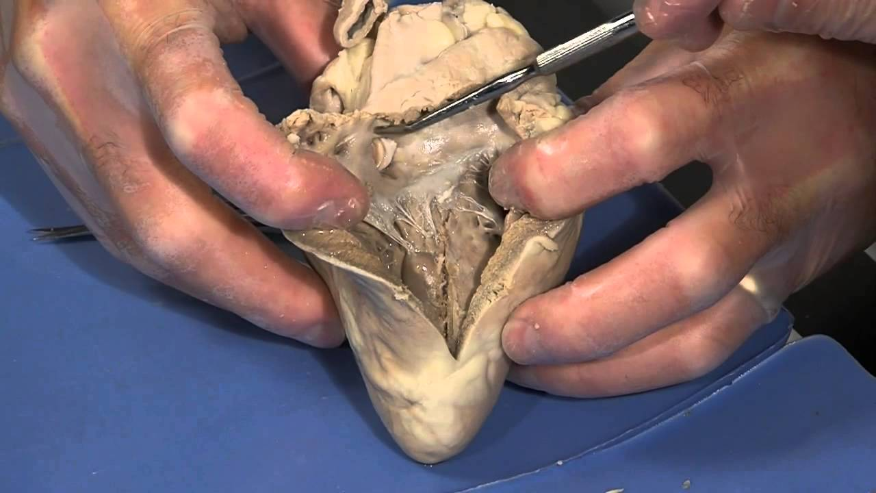 Detailed Sheep Heart Dissection: Part II (Jr. High, High School and ...