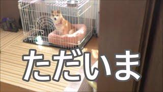 柴犬小春 丸二日ぶりに主人と会う小春の反応やいかに!?? thumbnail
