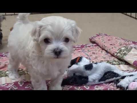 Hearthside Maltipoo Puppies Skye and Zappa