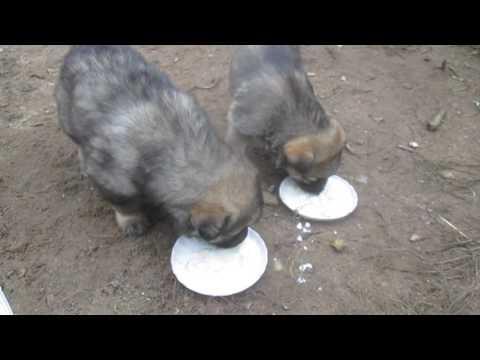 Как едят щенки 1 месяц немецкая овчарка