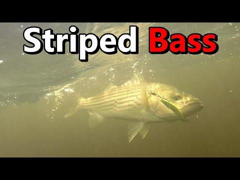 Striped Bass Fishing Miramichi River NB Canada 2020 Part 2-Underwater Views!