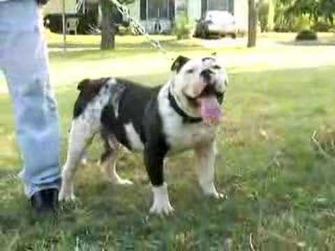 Victorian Bulldogge Youtube