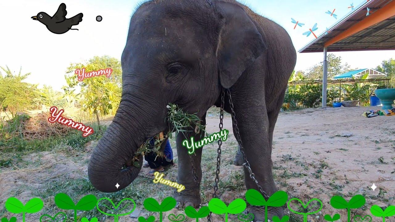 กินหญ้า🍀ชิวๆข้างบ้าน🐘 - freestyle elephant