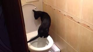 Кот ориентальной породы ходит писать в унитаз