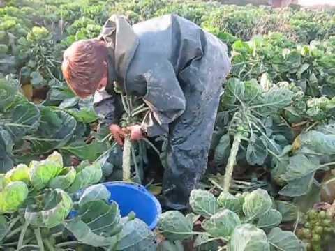 Cueillette de choux de bruxelle youtube - Choux de bruxelles plantation ...