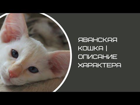 Яванская порода кошек (Яванез)