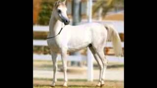 Арабская Чистокровная порода лошадей