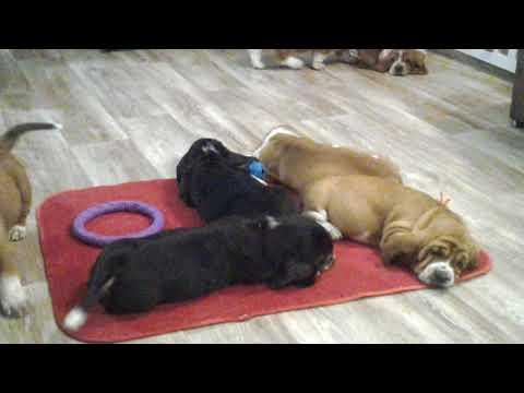 For Sale puppies basset hound, litter Ch