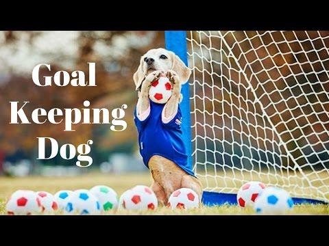 Goal Keeping Dog - Amazing Dog | Soccer Skills | Best Dog Goalkeeper Ever!