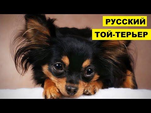 Русский той-терьер плюсы и минусы породы | Собаководство | Порода собак Русский той-терьер