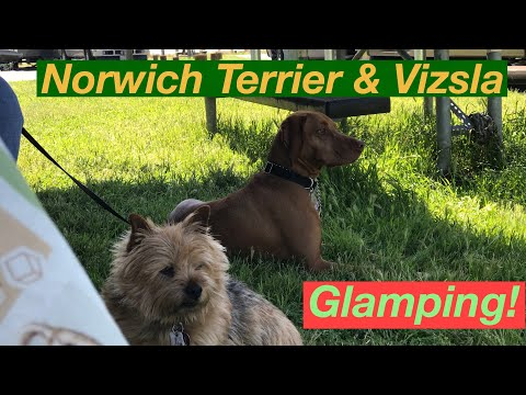 Norwich Terrier & Vizsla Glamping!