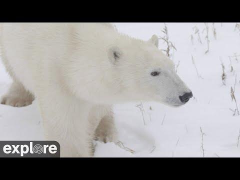 Polar Bear Facts Information Polar Bears International