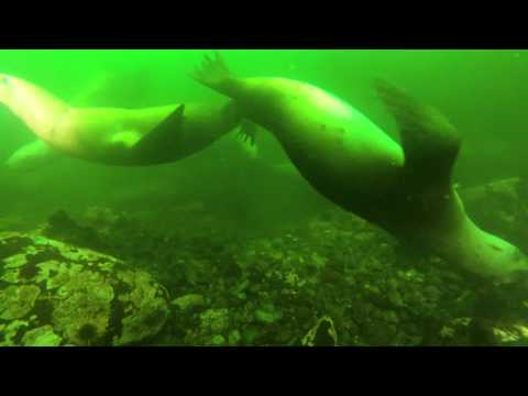 Diving with Steller Sea Lions Alaska