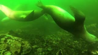 Diving with Steller Sea Lions Alaska