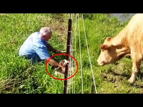 Man Spots Cow Acting Strangely Before It Dawns On Him That He Needs To Follow Her Right Away