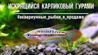 ИСКРЯЩАЯСЯ аквариумная РЫБКА - КАРЛИКОВЫЙ ГУРАМИ пумила | Sparkling gourami | Trichopsis pumilus