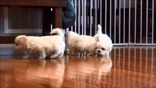 Shih Tzu Puppies For Sale March 2, 2015