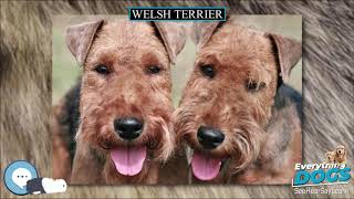 Welsh Terrier  Everything Dog Breeds