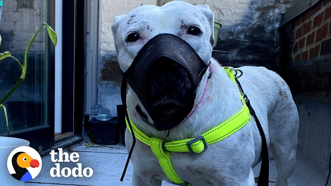 Pittie Who Needed A Muzzle Plays With A Pack Of Dogs Now | The Dodo Foster Diaries