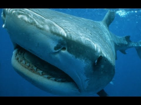 Tiger Shark - Legendary Thug Of The Sea