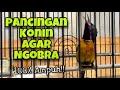 Pancingan Konin Agar Langsung Ngobra Dan Bunyi Gacor Bikin Kolibri Ninja Bahan Langsung Nyaut  Mp3 - Mp4 Download