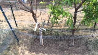 High Density Espalier Gardener - Peaches & Nectarines 03-04-15
