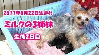 【ヨークシャーテリア専門犬舎チャオカーネ】 2017年8月22日 可愛い3姉...