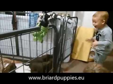 explosion of such a happiness with briard puppies