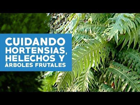 C mo cuidar hortensias helechos y rboles frutales for Cuidar hortensias exterior