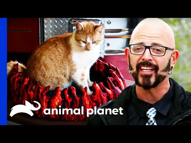 Flame The Firehouse Cat Is The Perfect Chilled Out Kitty | My Cat From Heaven