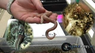Snake Bytes TV - Baby Snakes Lots! : SnakeBytesTV