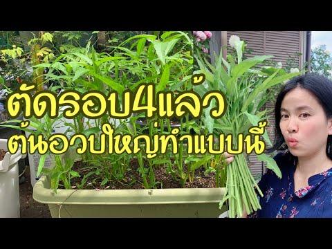 ปลูกผักบุ้งในกระถาง ต้นอวบใหญ่ ตัดกินได้เรื่อยๆทำแบบนี้ - วันที่ 24 Jul 2019