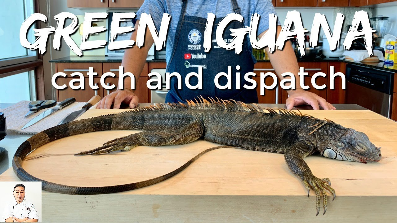 FLORIDA GREEN IGUANA: Catch, Dispatch and Clean