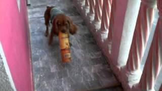 English Cocker Spaniel Puppy-rocko W/ Tequila Cover Cazadores