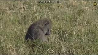 ~ Zwierzęta Afryki : PAWIAN ( Papio ) ~  Safari  15/11/2018