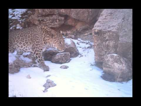 Persian Leopard Conservation in Kurdistan, Iraq