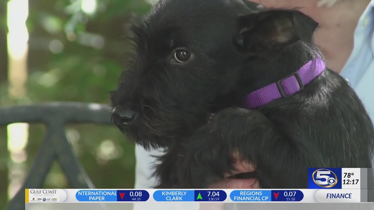 VIDEO: Pet of the Week: Scotty-mix puppy needs family