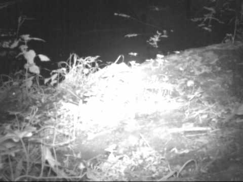 Little Owl On Camera Trap