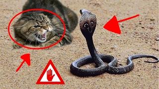 Gambar cover Pelea a muerte COBRA vs GATO | INSANE ANACONDA vs CAT FIGHT