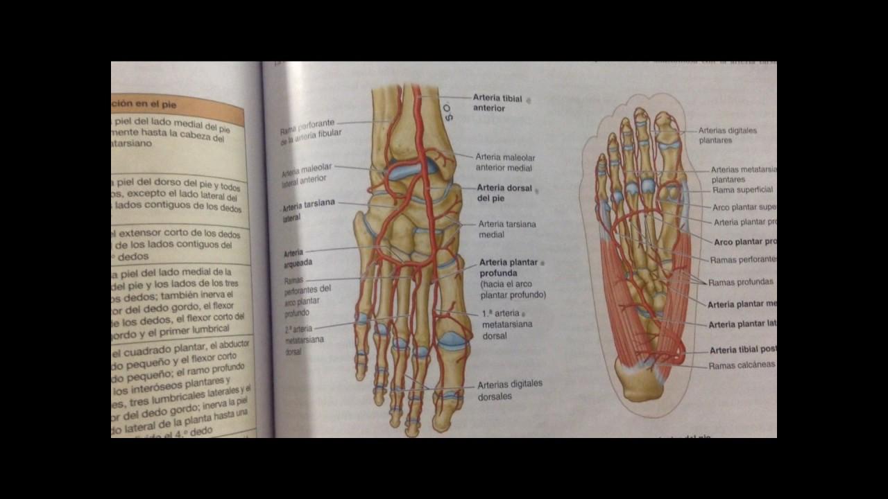 Estructuras vasculonerviosas del pie - MOORE - YouTube