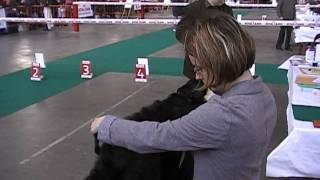 Bellisimo Perros - Mouskroen 2010 - 9-14 Puppy Femelle