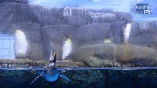 【10分】休園中の水族館で過ごすペンギンたち【八景島シーパラダイス】