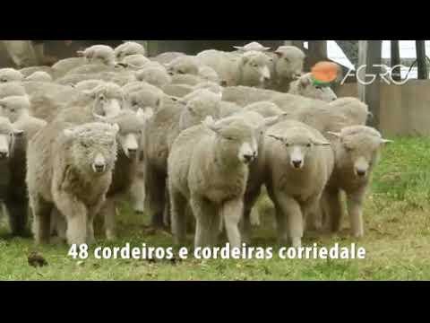 Lote Taimbé -  48 Cordeiros e Cordeiras CORRIEDALE - REMATÃO (10/01/20)