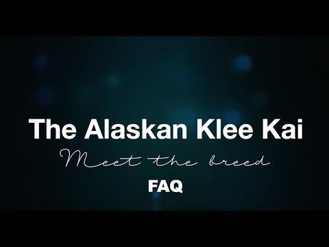 Alaskan Klee Kai FAQ | What's it like owning a Klee Kai Rant