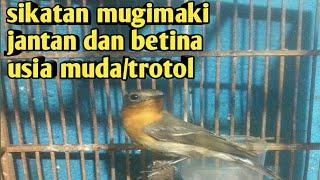 Burung Sikatan Mugimaki Jantan Dan Betina