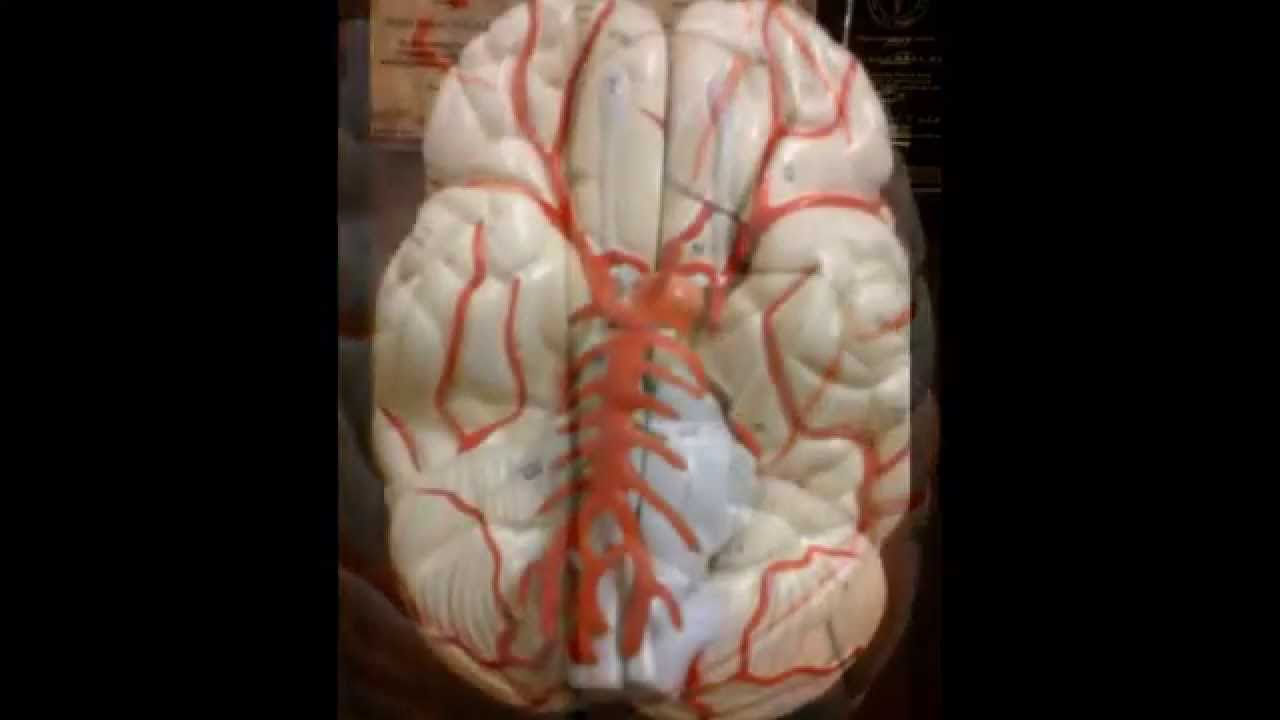 Brain Dissection Labeled Specimens And Models Sanjoy Sanyal Youtube